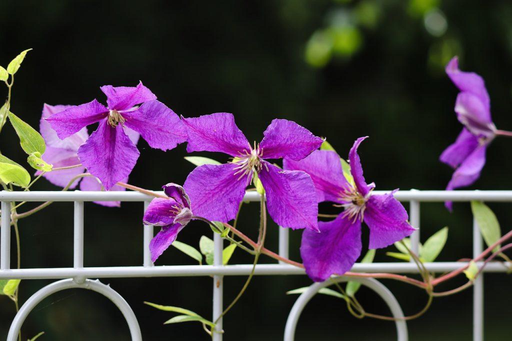 Clematis Fence Garden Fence Flowers  - manfredrichter / Pixabay